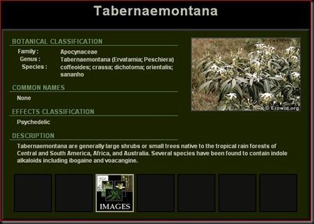 Tabernaemontana