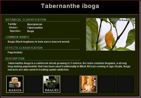 Tabernanthe Iboga